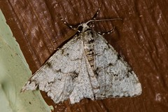 Small Phigalia Moth