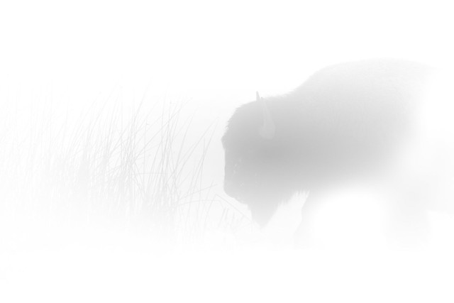 Impressions of a Bison