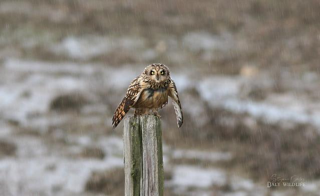 , Short-eared Owl (Asio flammeus) wintering in The Rain in Spain_w_9450_