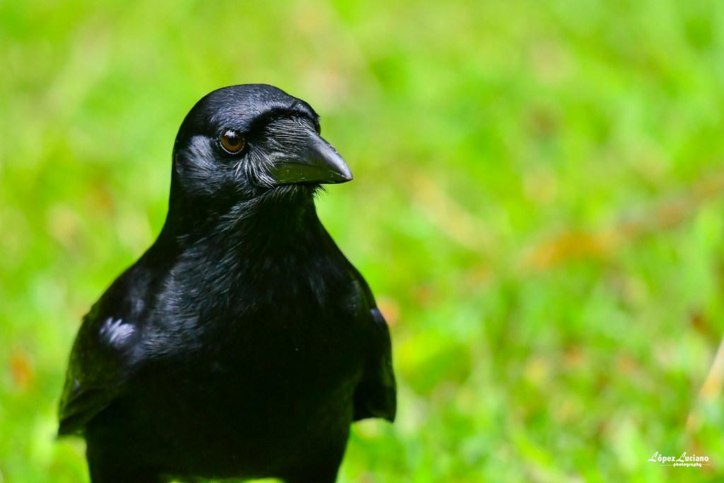 AVES NEGRAS DE REPUBLICA DOMINICANA: Cao.(corvus palmarun.) Hispaniolan palm crow.