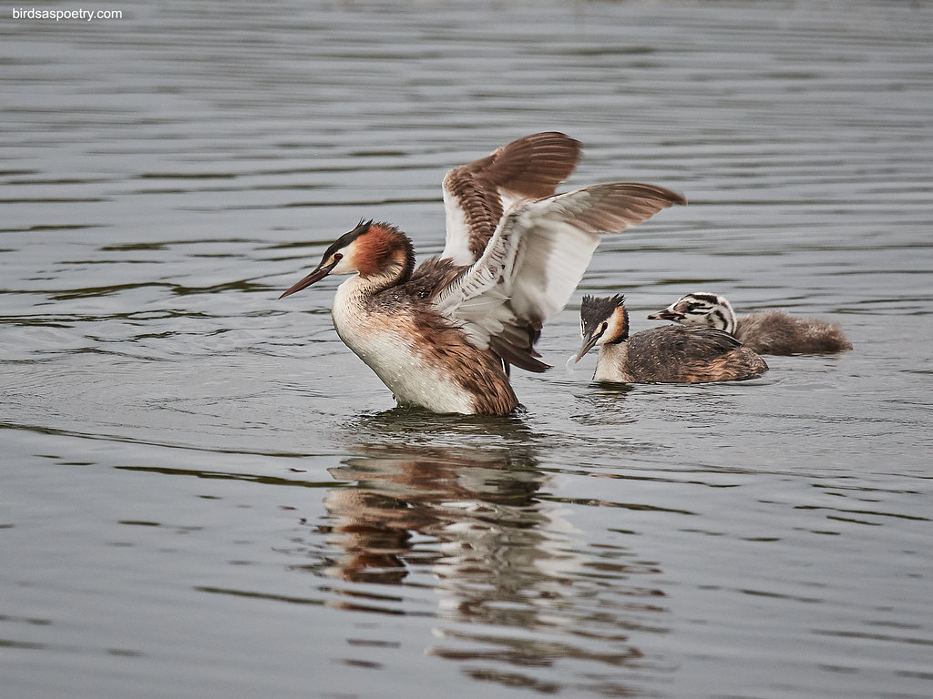Great Crested Grebe: Showing How its Done