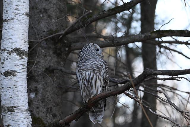 Chouette rayée membrane nictitante--Barred Owl nictitating menbrane (Strix varia)