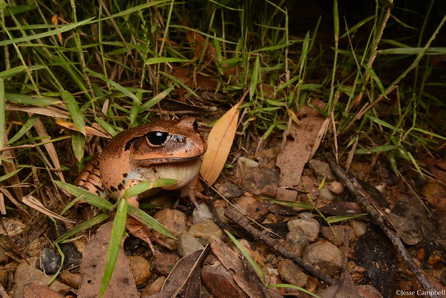 Great Barred Frogs (Mixophyes fasciolatus). Central Coast, NSW