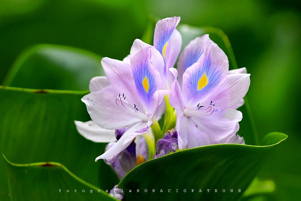 - FLOR DE CAMALOTE ..Common water hyacinth (Eichhornia crassipes) toma en THAYS.!argentina- BUENOS AIRES.