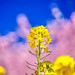 Canola flowers with cherry blossom background