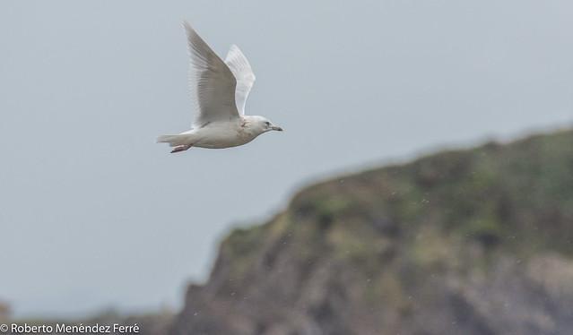 Gaviota polar,iceland gull (Larus glaucoides)