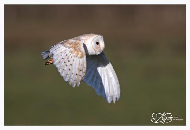 B57I5578-Barn-Owl,-Tyto-alba