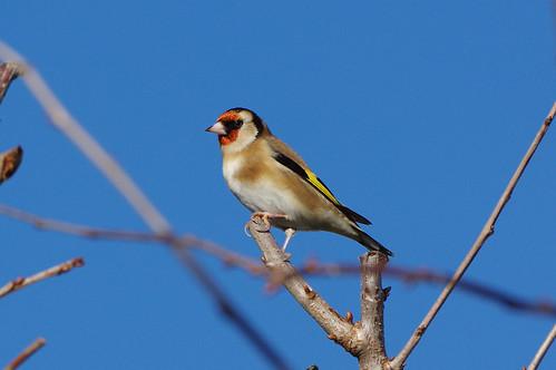 barhill cambridgeshire cardueliscarduelis bird garden goldfinch nature wild wildlfie