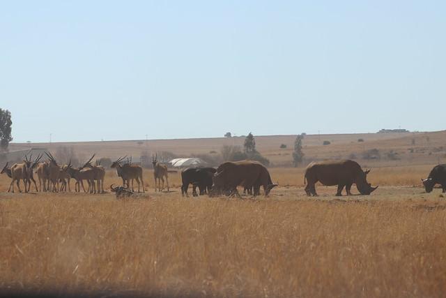 Rhinos & Eland