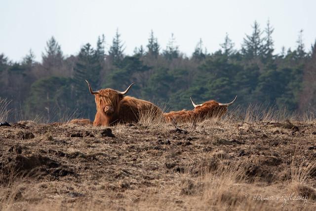 Schotse hooglander/ Scottish highland cattle