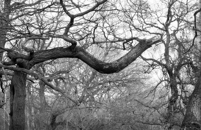 Hyons Wood, Walker Titan SF with Nikkor 210mm, Rollei Ortho 25+ in HC110