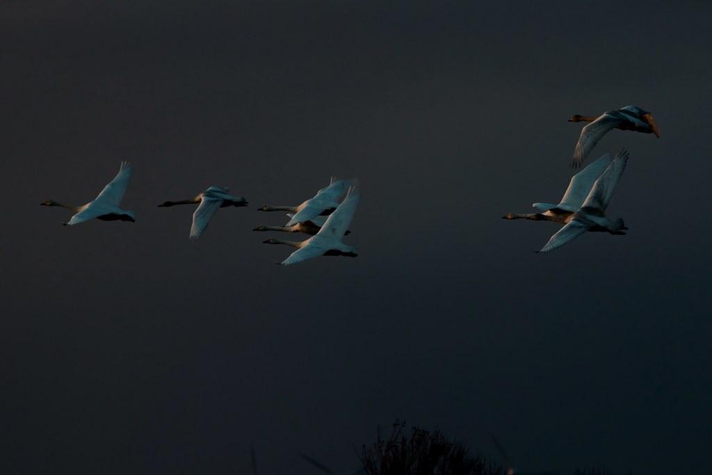 Whooper Swans - Looking to Roost