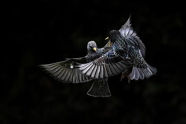 Starling squabble