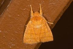 Slotten's Sallow Moth