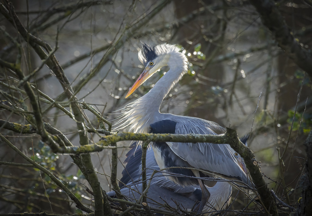 Heron-pair_6405