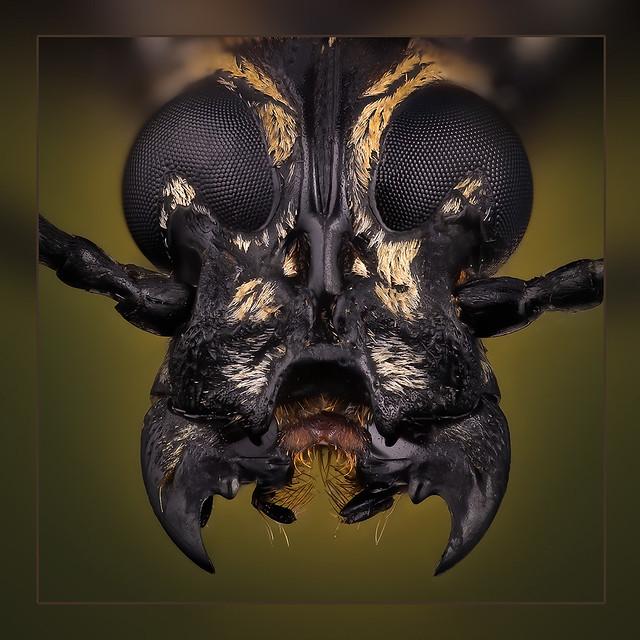 Xenocerus buruanus