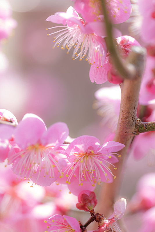View of Plum Blossoms