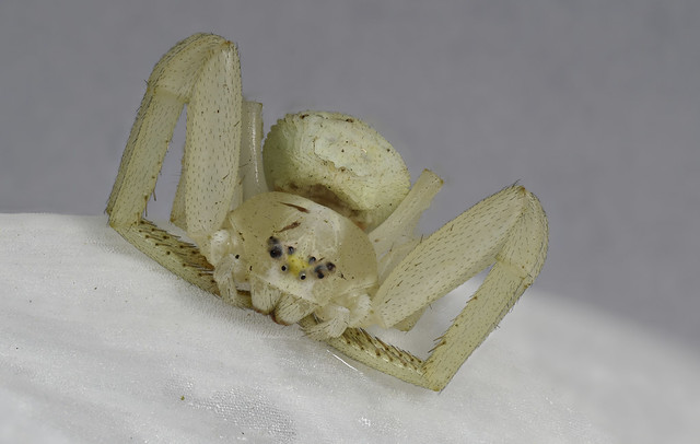 Flower Crab Spider (Misumena vatia) on Snowdrop petal