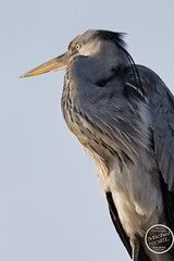 Héron cendré - Ardea cinerea - Grey Heron : IMG_7900_©_Michel_NOEL_2021_au_Lac_de_Creteil