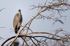 Héron cendré - Ardea cinerea - Grey Heron : IMG_7873_©_Michel_NOEL_2021_au_Lac_de_Creteil