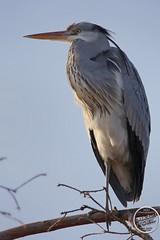 Héron cendré - Ardea cinerea - Grey Heron : IMG_7899_©_Michel_NOEL_2021_au_Lac_de_Creteil