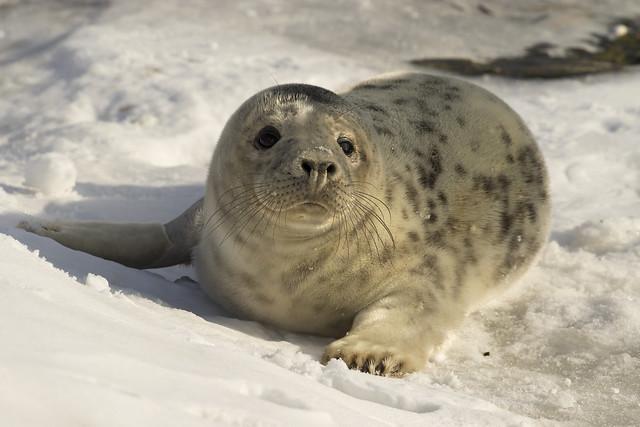 Gewone zeehond - Noorderpier - Hoek van Holland