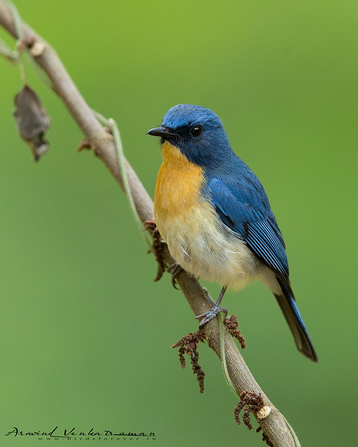 Tickells Blue Flycatcher