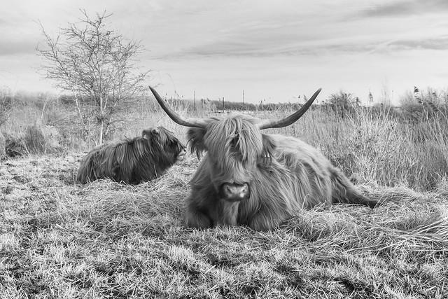 365 2021 #056 Scots highlander, Schinkelbos.