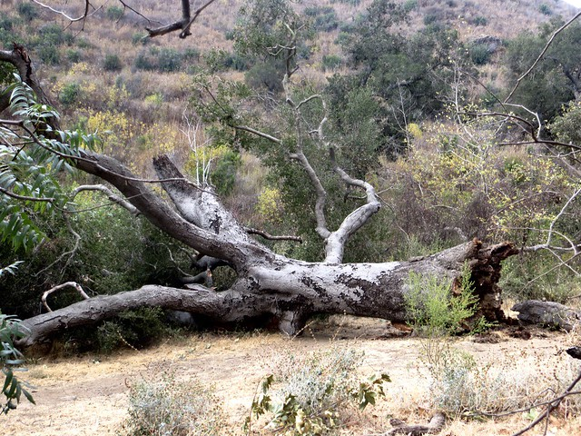 fallen oak in solstice canyon