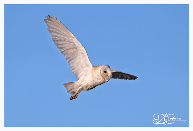 B57I5596-Barn-Owl,-Tyto-alba