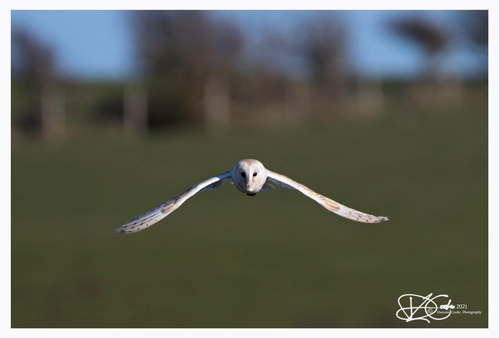 B57I5593-Barn-Owl,-Tyto-alba
