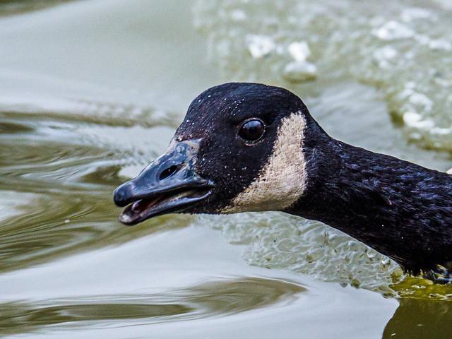 Grumpy goose