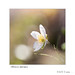 Anémone hépatique  6188  f