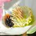 Osmia cornuta female on Helleborus niger