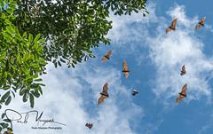 """""""Flying"""", Pteropus voeltzkowi, Pemba flying fox, Fruit bat, Animal, Namialo, Nampula, Mozambique, Africa  """"Voando"""", Pteropus voeltzkowi, Raposa voadoras Pemba, Morcego da fruta, Animal, Namialo, Nampula, Moçambique, Africa"""
