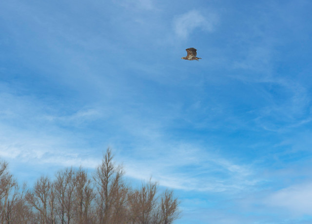 White tailed eagle/zee arend