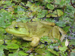 The American bullfrog can be identified by its green coloring with black spots and gold eyes