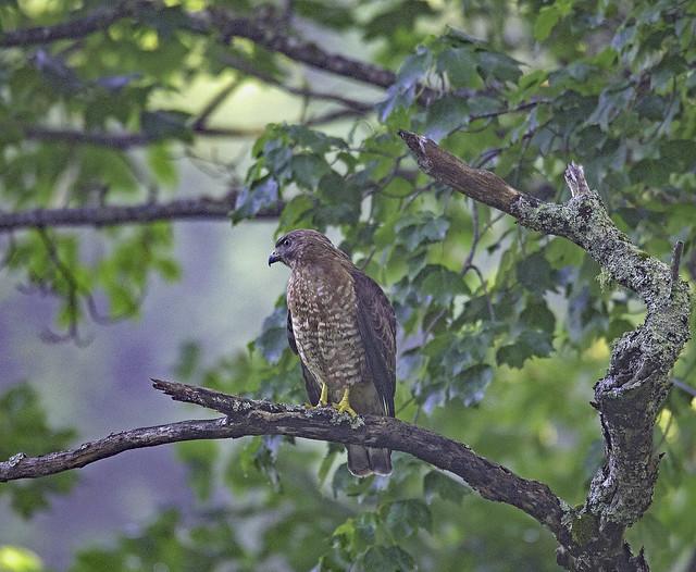 07 03 18_2269_broad-winged hawk