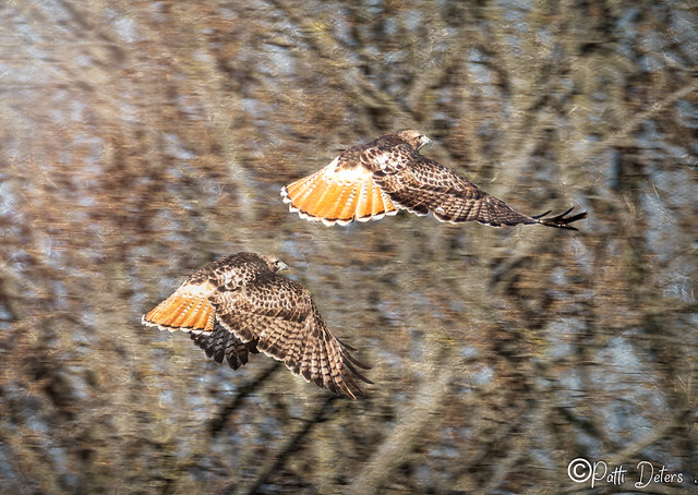 Red-Tailed Hawks Flight