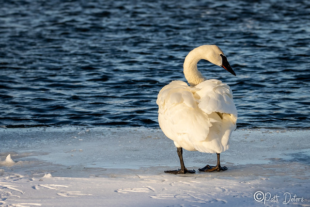 Trumpeter Swan Ruffled Back