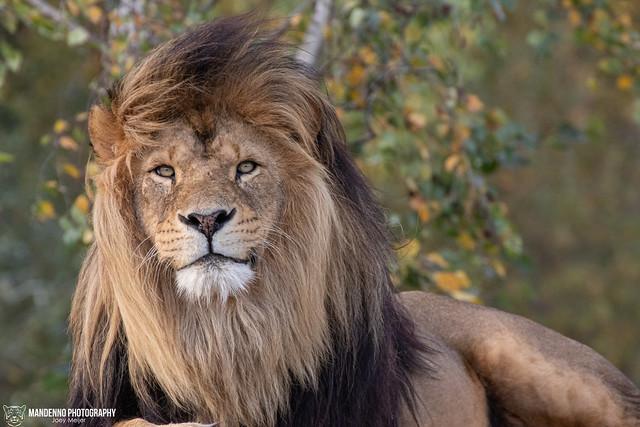 African Lion - Safaripark Beekse Bergen - The Netherlands