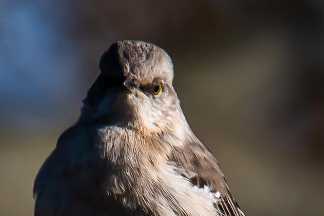 Mad Mockingbird