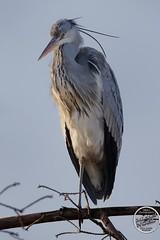 Héron cendré - Ardea cinerea - Grey Heron : IMG_7892_©_Michel_NOEL_2021_au_Lac_de_Creteil