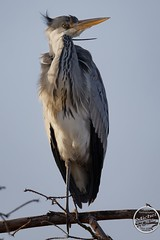 Héron cendré - Ardea cinerea - Grey Heron : IMG_7895_©_Michel_NOEL_2021_au_Lac_de_Creteil