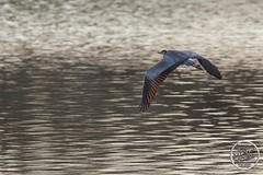 Héron cendré - Ardea cinerea - Grey Heron : IMG_7864_©_Michel_NOEL_2021_au_Lac_de_Creteil