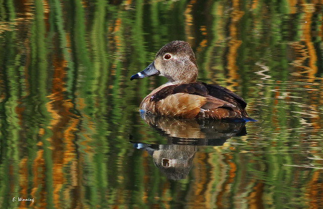 Ring-necked Duck 5729