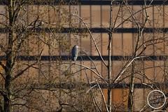 Héron cendré - Ardea cinerea - Grey Heron : IMG_7854_©_Michel_NOEL_2021_au_Lac_de_Creteil
