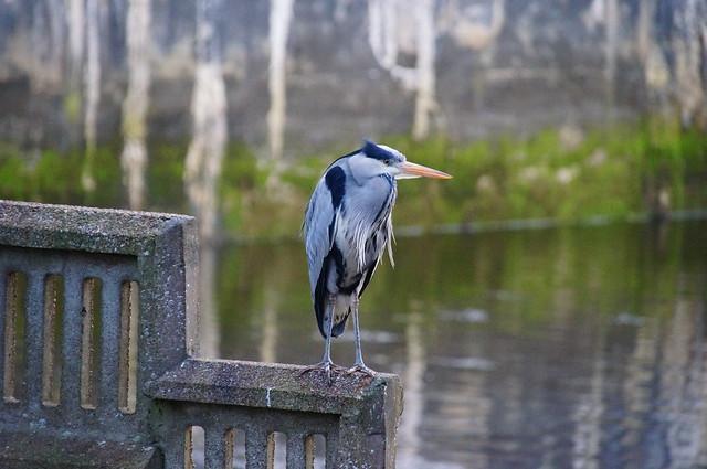 Stornoway Heron