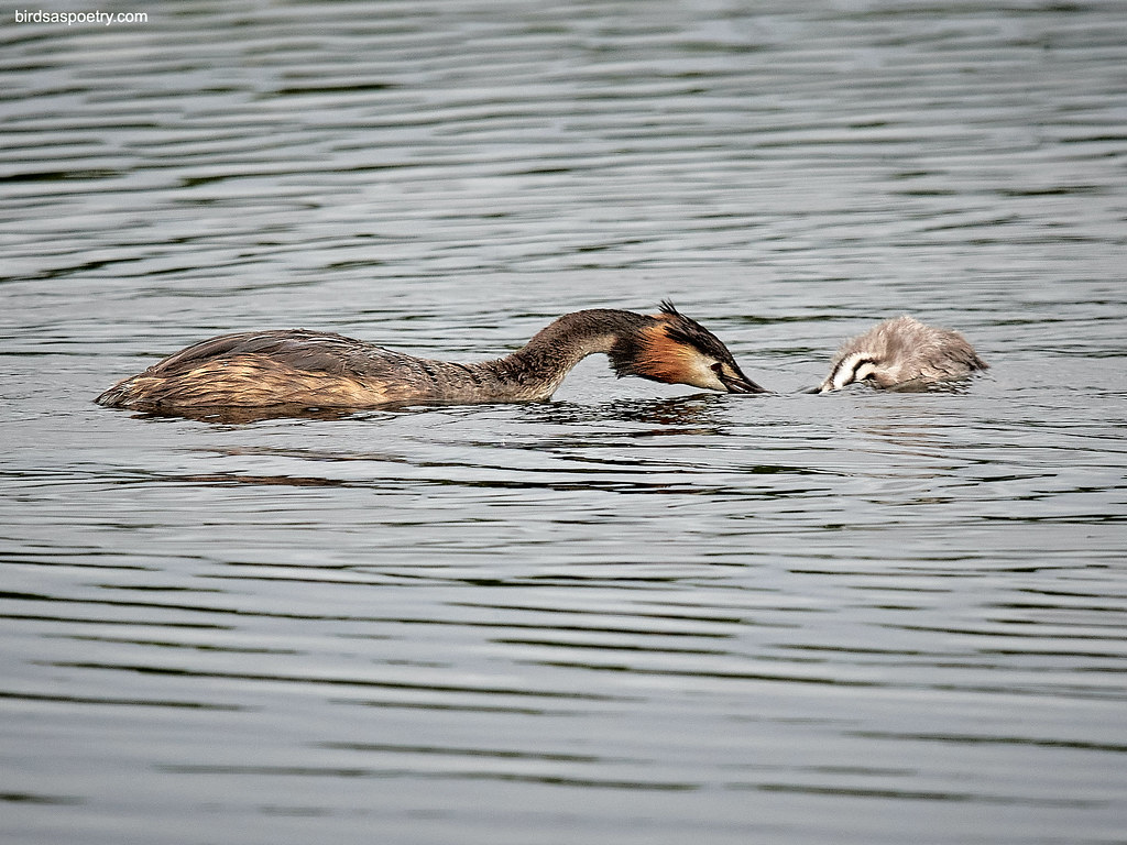 Great Crested Grebe: Learning the Trade