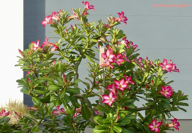 Rosa-do-deserto, Desert Rose, Paramaribo, Suriname